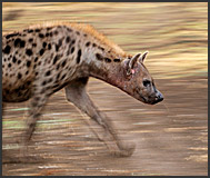 Spotted hyena (Crocuta crocuta) running, South Luangwa National Park, Zambia