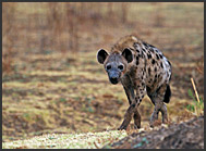 Spotted hyena (Crocuta crocuta), South Luangwa National Park, Zambia