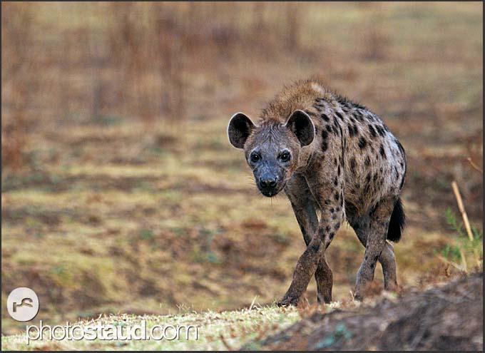 Spotted hyena (Crocuta crocuta) walking in South Luangwa National Park, Zambia