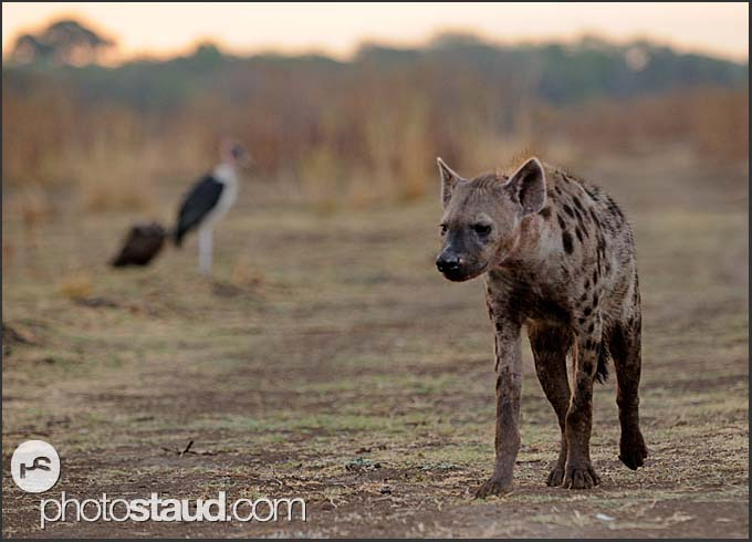 Spotted hyena (Crocuta crocuta) and Marabou Stork (Leptoptilos crumeniferus), South Luangwa National Park, Zambia