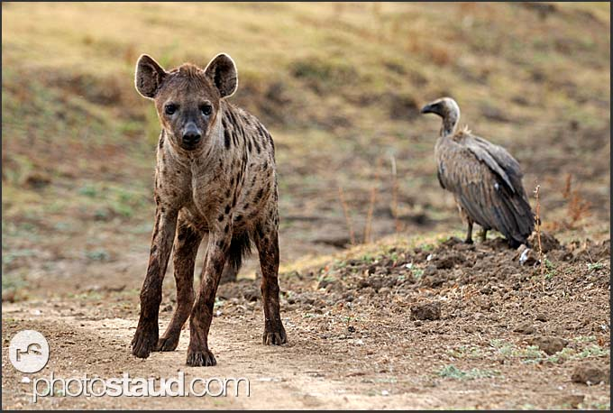 Spotted hyena (Crocuta crocuta) and White-backed Vulture (Gyps africanus), South Luangwa National Park, Zambia