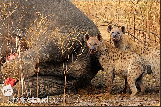 zambia-luangwa-hyena-008.3.jpg