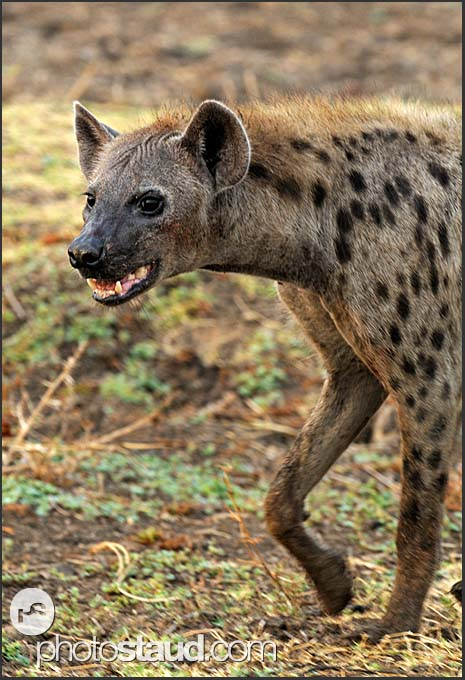 Close up portrait of Spotted hyena (Crocuta crocuta), South Luangwa National Park, Zambia