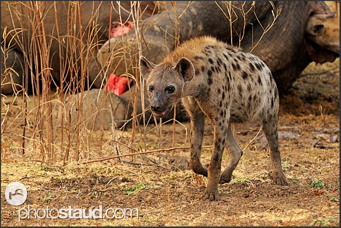 Spotted hyena (Crocuta crocuta) walking in front of dead elephant (Loxodonta africana), South Luangwa National Park, Zambia