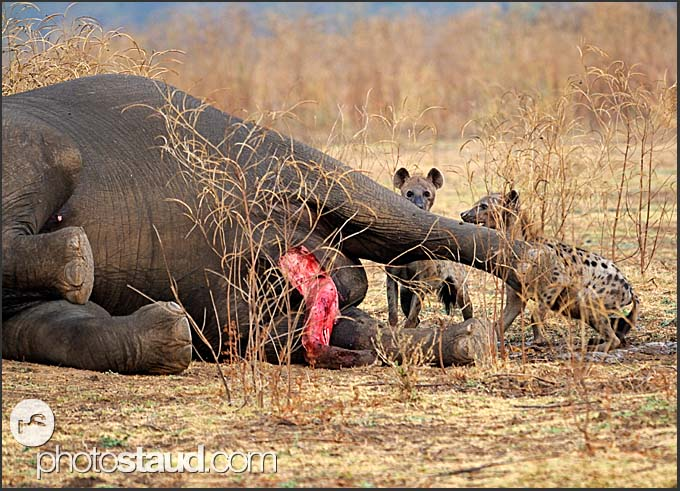 Spotted hyenas (Crocuta crocuta) feeding on elephant body (Loxodonta africana), South Luangwa National Park, Zambia