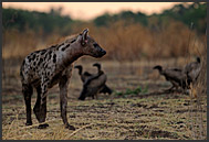 Spotted hyena (Crocuta crocuta) resting, South Luangwa National Park, Zambia