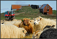 Sheep farm, Iceland