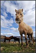 Icelandic horses (Equus caballus)in Western fjords, Iceland