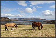 Icelandic horse (Equus caballus), Iceland