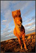 Icelandic horses (Equus caballus) walking in the landscape of Iceland