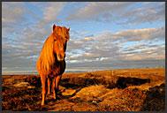 Icelandic horses (Equus caballus), Iceland