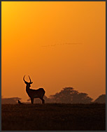 Skull and horns of Lechwe Antelope (Kobus leche) in the landscape of Kafue National Park, Zambia