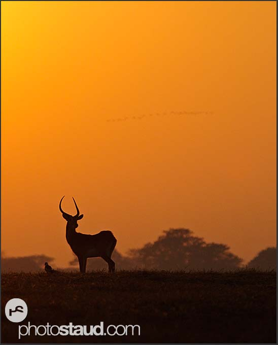 Silhouette of Lechwe Antelope (Kobus leche) in the landscape of Kafue National Park, Zambia