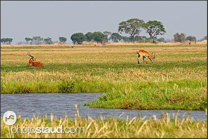 Puku (Kobus vardonii) in the landscape of Kafue National Park, Zambia