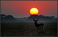 Lechwe Antelope (Kobus leche) in the morning landscape of Busanga Plains, Kafue National Park, Zambia