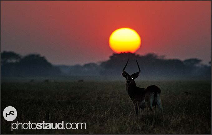 Lechwe Antelope (Kobus leche) in the morning landscape Kafue National Park, Zambia