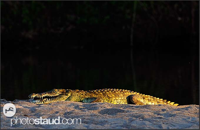 Nile crocodile (Crocodylus niloticus) near Limpopo River, Pafuri, Kruger National Park, South Africa