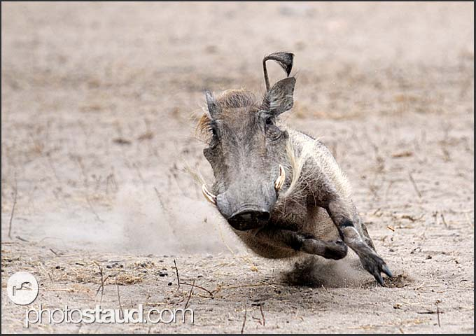Warthog (Phacochoerus africanus) running for life, Kruger National Park, South Africa