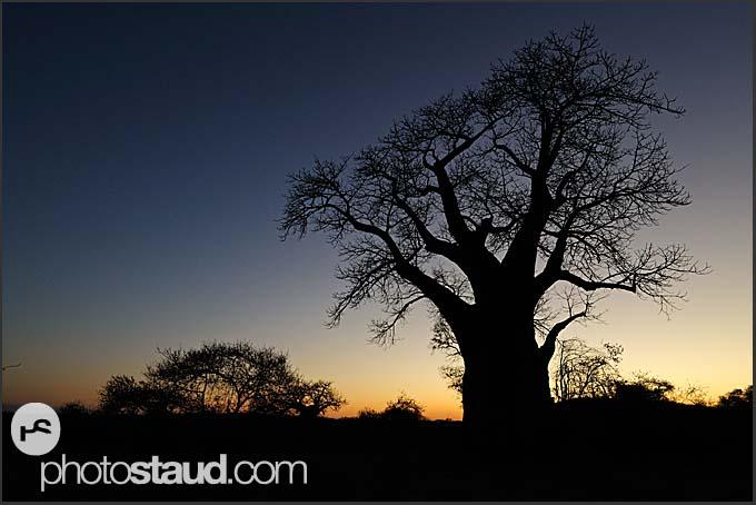 Baobab trees in the landscape of Kruger National Park, South Africa