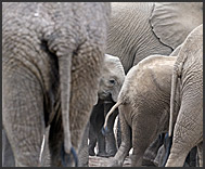 Herd of African elephants (Loxodonta africana) in Kruger National Park, South Africa