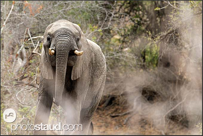 African elephants calf (Loxodonta africana) in Kruger National Park, South Africa