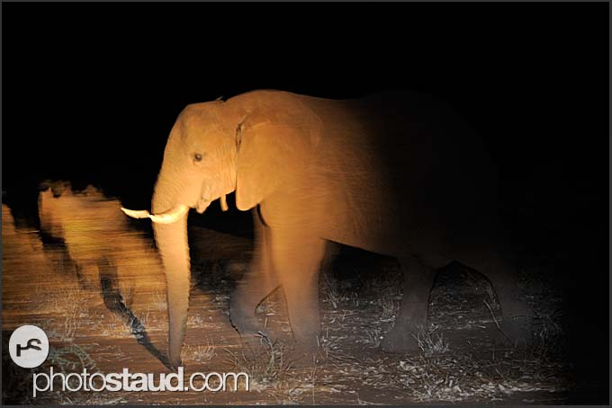 African elephant (Loxodonta africana) in the spotlight, Kruger National Park, South Africa