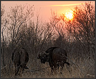 Cape buffalo (Syncerus caffer) at sunset, Kruger National Park, South Africa