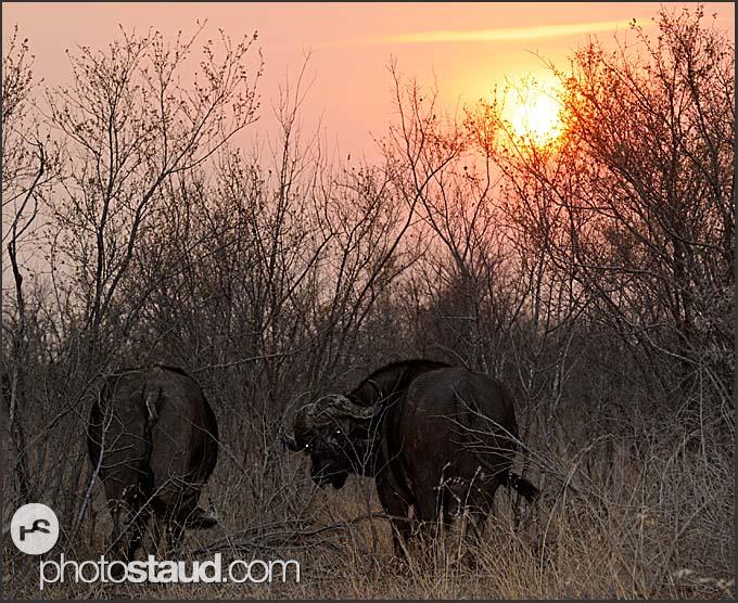 Cape buffalos (Syncerus caffer) at sunset, Kruger National Park, South Africa