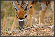 Nyala (Tragelaphus angasi) grazing in Kruger National Park, South Africa