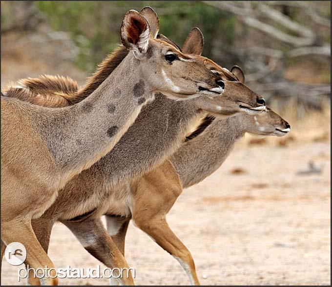 Line-up of female greater kudu (Tragelaphus strepsiceros), Kruger National Park, South Africa