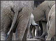 Herd of African elephants (Loxodonta africana), Kruger National Park, South Africa