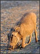 Warthog (Phacochoerus africanus), Kruger National Park, South Africa