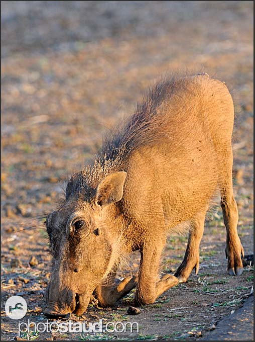 On the knees, warthog (Phacochoerus africanus), Kruger National Park, South Africa