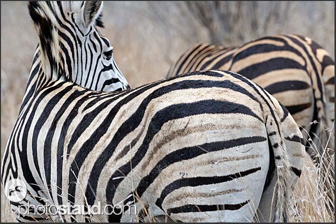 Burchells zebra (Equus quagga), Kruger National Park, South Africa