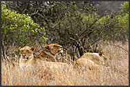Pride of lions (Panthera leo) in the grass, Kruger National Park, South Africa