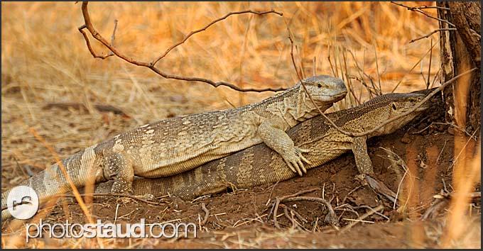 White Throated Monitor Lizards Varanus Albigularis Kruger
