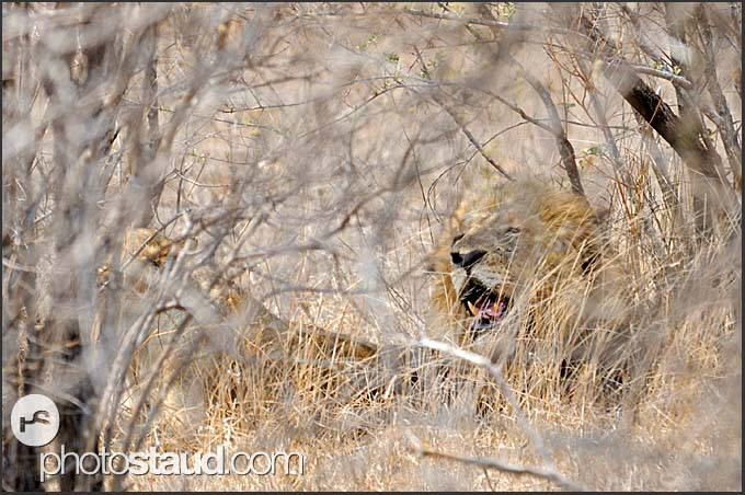 Lion male (Panthera leo) hiding in the grass, Kruger National Park, South Africa
