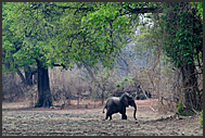 African elephant (Loxodonta africana) in the landscape if South Luangwa National Park, Zambia