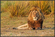 Lions of Kafue NP