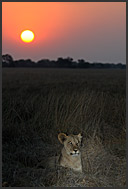 Lion cub (Panthera leo) resting in Busanga Plains, Kafue National Park, Zambia