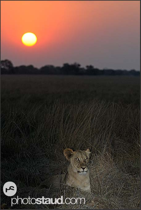 Lioness (Panthera leo) at sunset, Busanga Plains, Kafue National Park, Zambia