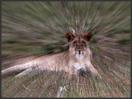Lion pride (Panthera leo), Busanga Plains, Kafue National Park, Zambia