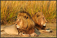 Two young lion males (Panthera leo) resting in Busanga Plains of Kafue National Park, Zambia