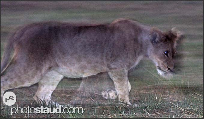 Lion cub (Panthera leo) walking in the night, Busanga Plains, Kafue National Park, Zambia