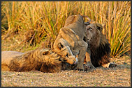 Pride of lions (Panthera leo), Busanga Plains, Kafue National Park, Zambia