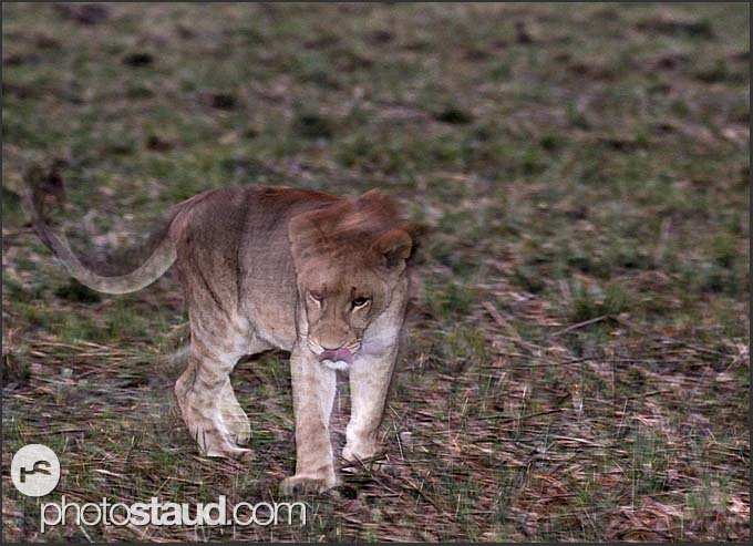 Young lion (Panthera leo) walking in the night, Busanga Plains, Kafue National Park, Zambia