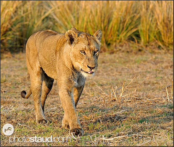 Lioness (Panthera leo) walking in Busanga Plains, Kafue National Park, Zambia