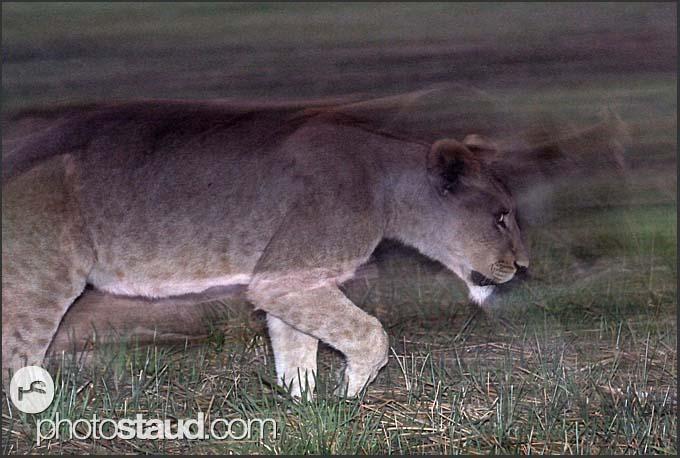 Young lion (Panthera leo) walking through the night, Busanga Plains, Kafue National Park, Zambia