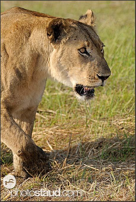 Portrait of lioness (Panthera leo), Kafue National Park, Zambia