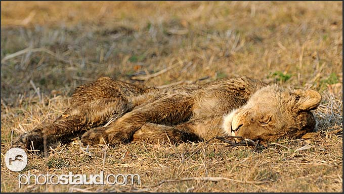 Lion cub (Panthera leo) sleeping in Busanga Plains, Kafue National Park, Zambia